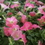 Northwood Flower Day!  Pre-order your spring flowers today!